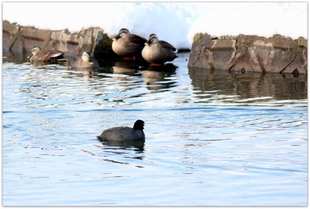 青森県 平川市 猿賀神社 境内 猿賀公園 見晴ヶ池 野鳥 鳥 写真 バードウォッチング オオバン