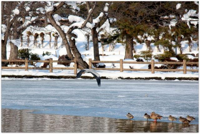 青森県 平川市 猿賀神社 境内 猿賀公園 見晴ヶ池 野鳥 鳥 写真 バードウォッチング アオサギ