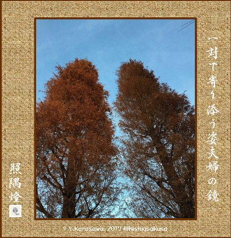 170110落雨松の紅葉