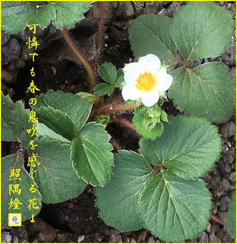 170114苺の花