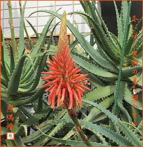 170116アロエの花