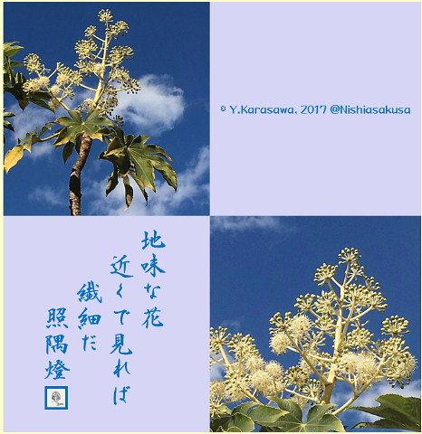 170124八手の花