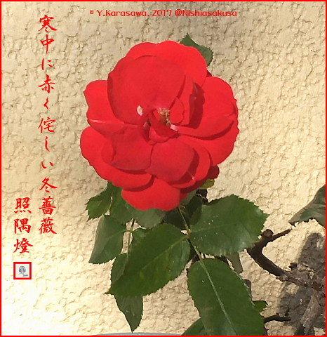 170126冬薔薇