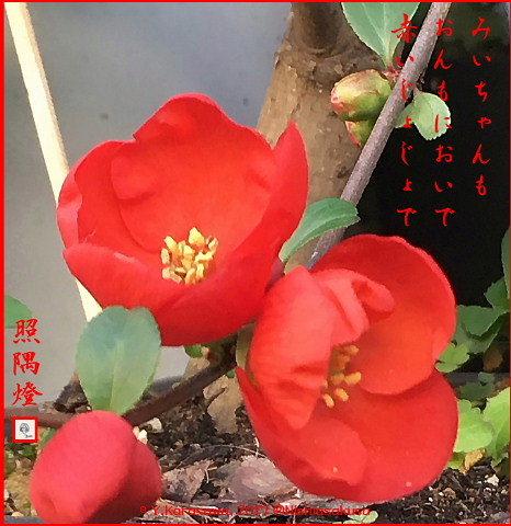 170130ボケの花