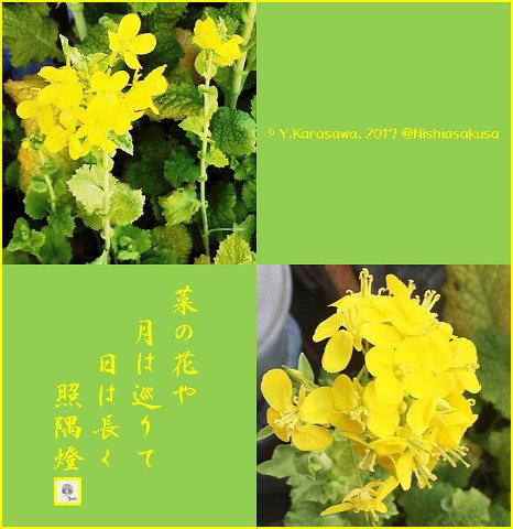 170204菜の花