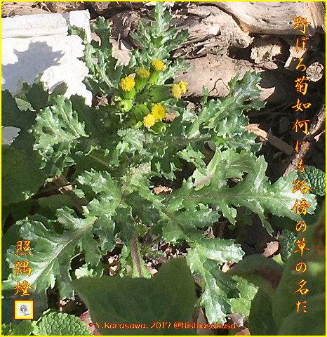 170205野ボロ菊