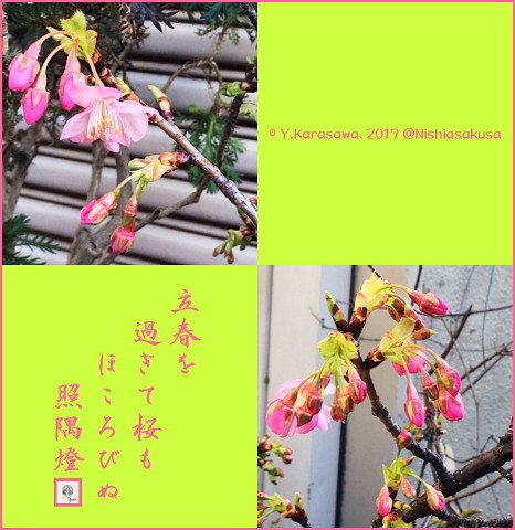 170209河津桜?