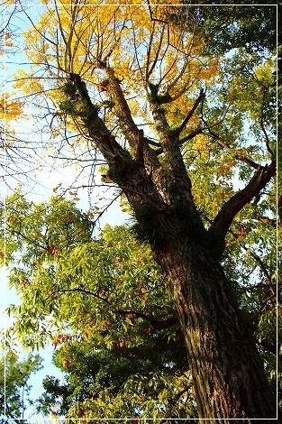 大きな銀杏の木、発見!