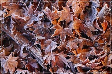 紅葉の落ち葉も霜化粧