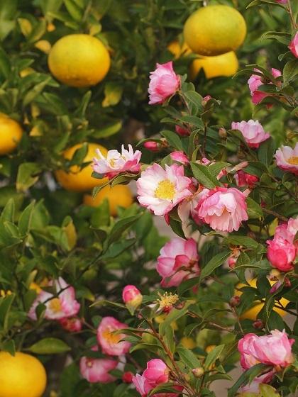 山茶花とミカン