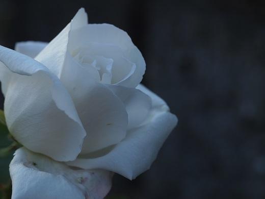 1フラウカール・ドルシュキ(つる薔薇)
