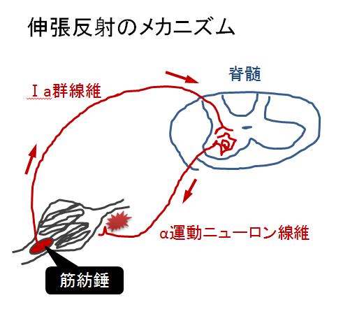 簡単!腱反射・伸張反射のメカニズム