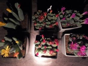 暗くなってからのコノフィツム♪昼咲きは夜閉じる品が多い2016.11.14