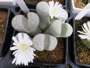 リトープス・ミックス苗の咲いてみないとわからない花色を確かめる♪白花~2016.11.20