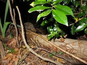 アムールハリネズミ♪~出てきた林に足早に引き返していきました♪2016.11.20