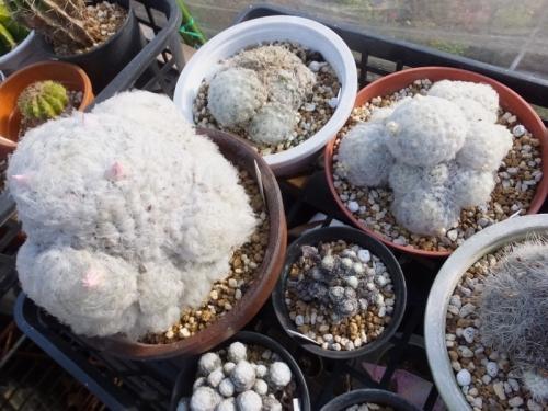 マミラリア・大型白星(ピンク花))、白星(白花)蕾が上がっています♪2016.11.25
