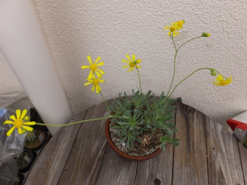 オトンナ・レトロルサ~開花中♪2016.11.28