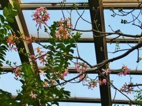 トックリキワタ(ヨイドレノキ)パンヤ科~ピンクの大きな花が咲いています♪「IZU・WORLD みんなのHawaiians 植物園」で開花中♪2016.12.10