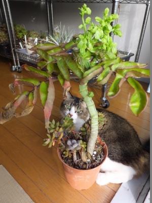 カランコエ・五節の舞(Kalanchoe prolifera)花芽ができました\(^o^)/♪2016.12.15