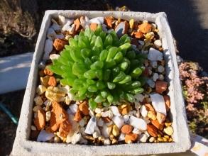 ハオルチア・みどり亀~群生株~自作のセメント鉢に植えつけました\(^o^)/2016.12.16