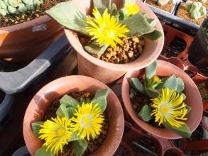 プレイオスピロス・陽光(カヌス)(Pleiospilos compactus ssp.canus)開花中~♪2016.12..21