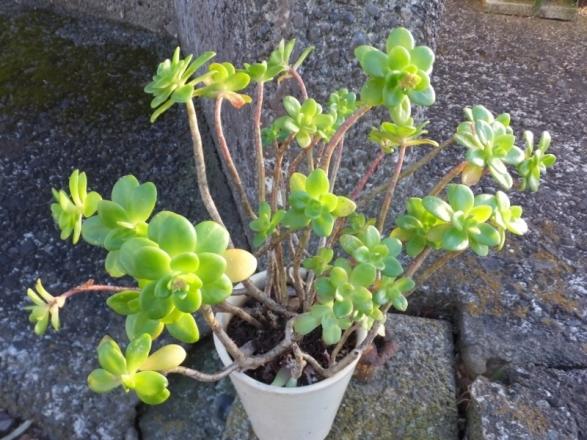 セダム・プラエアルツム(Sedum praealtum)花芽ができています♪2016.12.23