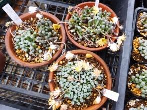 フェネストラリア・群玉(白花)、五十鈴玉(黄花)も一回り大きな鉢に植え替え♪2017.01.06