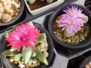 左:ケイリドプシス・春意玉、右:ギバエウム・無比玉~開花中♪2017.01.11