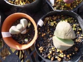 左:生育不良だった実生苗(2014)、右:旧葉が全部溶けたど根性*帝玉~2017.01.22