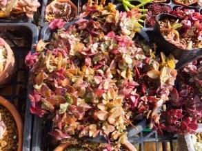 クラッスラ・ジンガールブラ (Crassula pellucida 'Jinger Rubra')=マルギナリス(Crassula marginalis) 2017.01.25