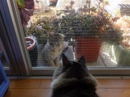 近所のノラ子猫が、多肉をよじ登り、イズ子ちゃんに会いに来ました♪2017.02.01