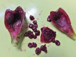 オプンチア 宝剣(ほうけん) Opuntia lanceolataの実♪2017.02.07