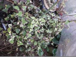 クライミングセネシオ=マーガレットセネシオ(Senecio macroglossus)花芽♪ 2017.02.08
