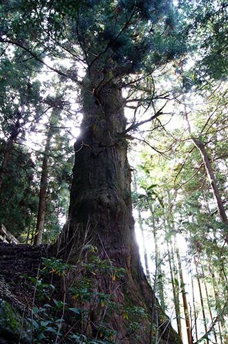 161022湯島の大杉①