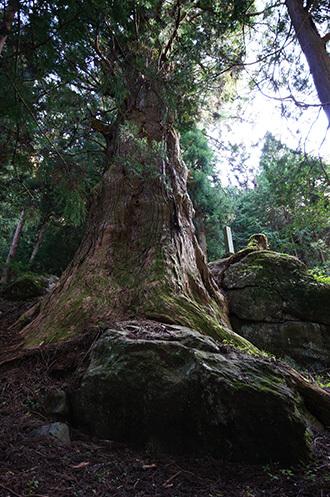 161022湯島の大杉⑥