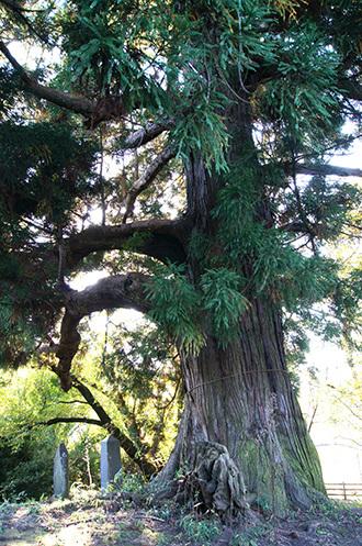 161104花鳥山一本杉⑥