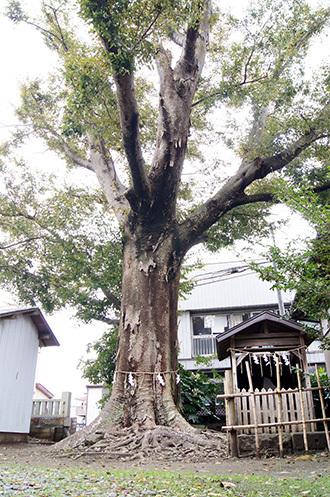 161112 八坂神社の欅①
