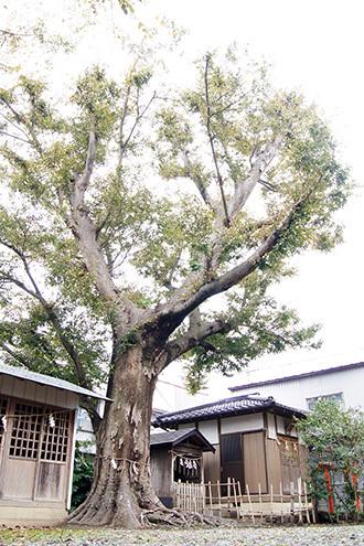161112 八坂神社の欅②