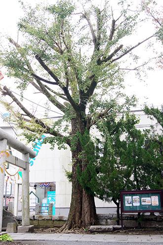 161112 八坂神社の欅⑤