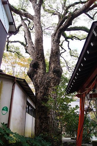 161112 八坂神社の欅⑥