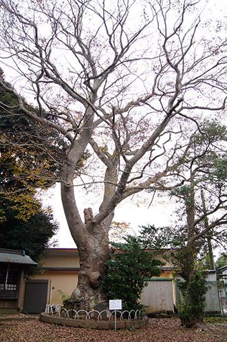 161123臼井稲荷神社の欅①