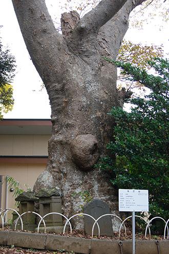 161123臼井稲荷神社の欅②