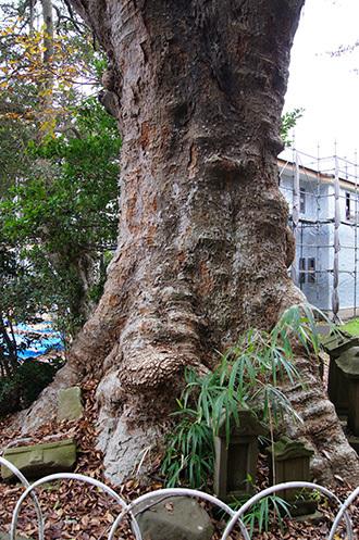 161123臼井稲荷神社の欅④