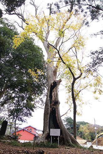 161123天御中主神社の欅①