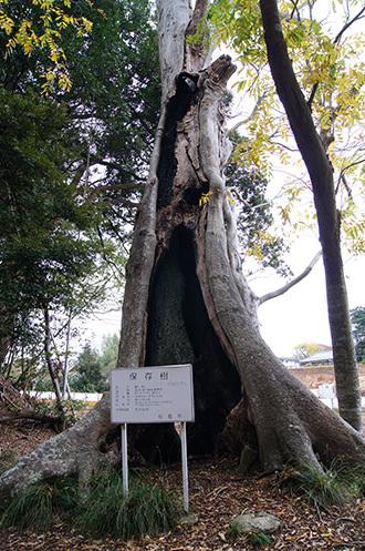 161123天御中主神社の欅③