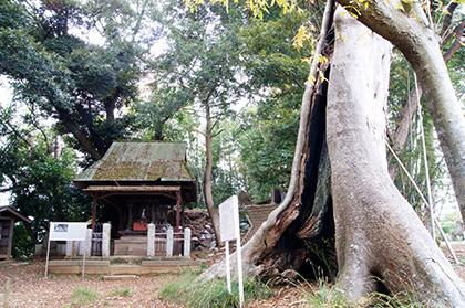 161123天御中主神社の欅⑤