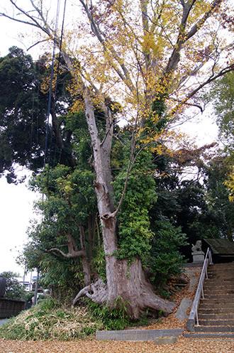 161123天御中主神社の欅⑨