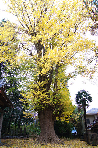 161123上志津西福寺銀杏①