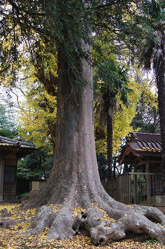 161123佐倉市西福寺の欅①