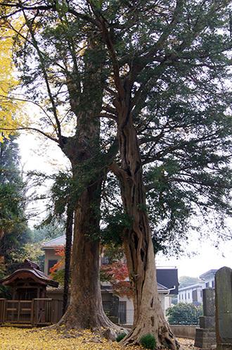 161123佐倉市西福寺の欅④